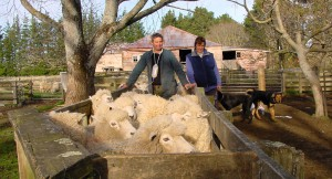 Sheep yards enhanced